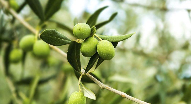 Листья оливкового дерева: польза, побочные эффекты и дозировка