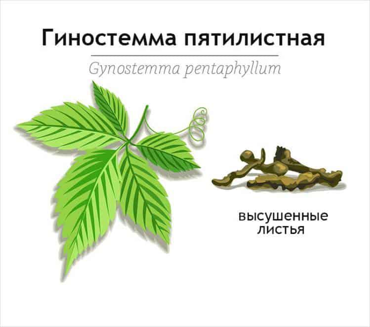 Гиностемма пятилистная