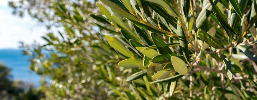 листья оливкового дерева