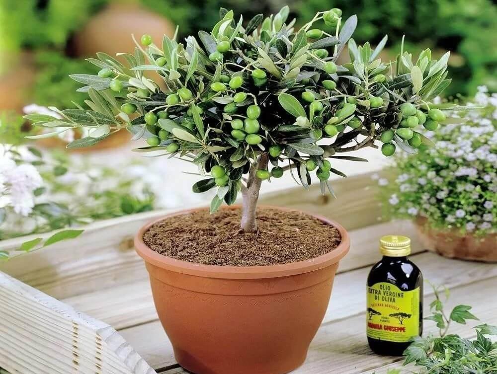 Оливковое дерево и листья оливкового дерева в виде экстракта