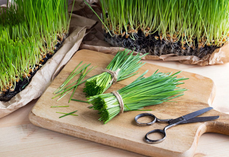 Ростки пшеницы – витграсс