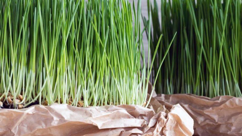 Витграсс (ростки пшеницы): преимущества, побочные эффекты и дозировка