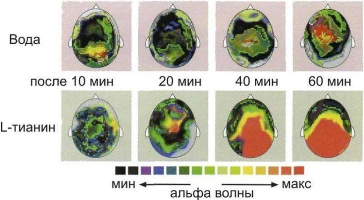 L тианин влияет на мозговую активность