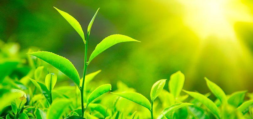 L-теанин: преимущества, побочные эффекты и дозировка