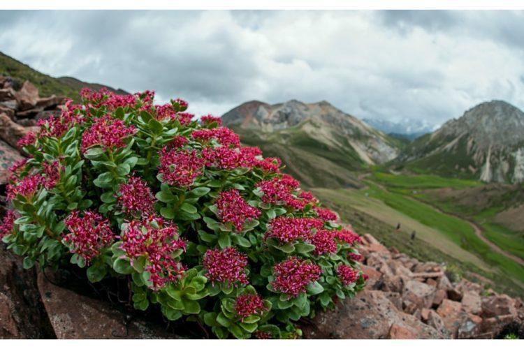 Родиола розовая (Rhodiola rosea) в Сибири