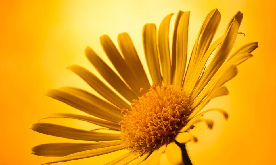 Арника: преимущества, побочные эффекты и дозировка
