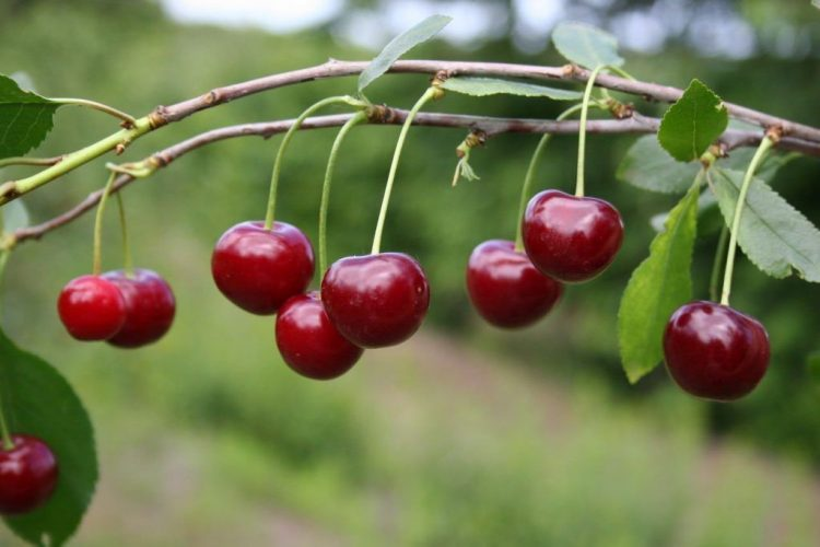 Терпкая вишня (кислая вишня)