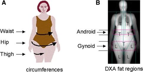 геноидное и андроидное ожирение