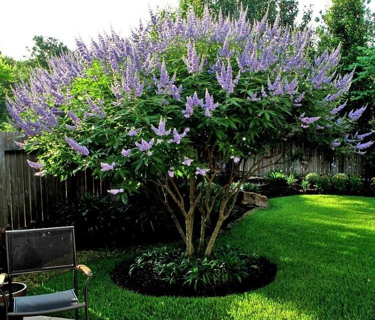 Витекс священный (Витекс обыновенный, Авраамово дерево, Целомудренник, Chasteberry): преимущества, дозировка и побочные эффекты