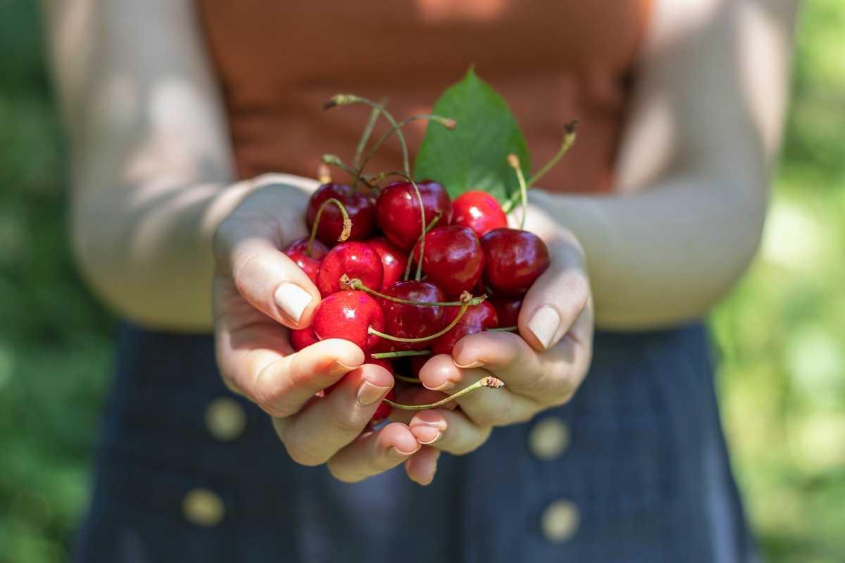 Терпкая вишня: польза и вред. Побочные эффекты и дозировка экстракта терпкой вишни