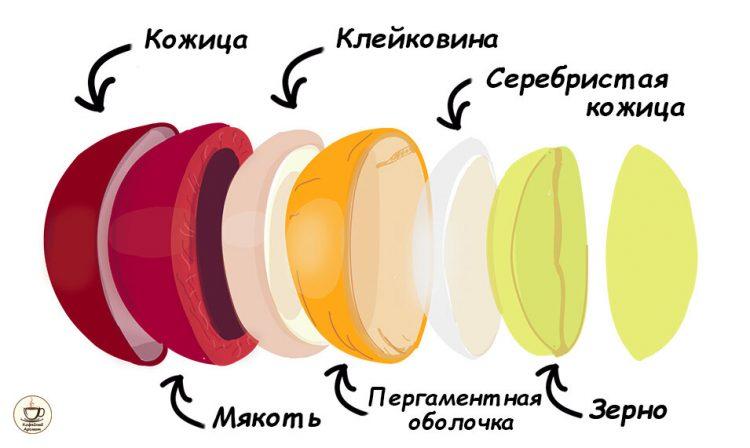 зеленый кофе в зернах. схема кофейного зерна